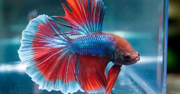 Выясняем сколько живут рыбки петушки в домашних условиях
