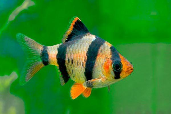 Полосатые аквариумные рыбки: названия, фото