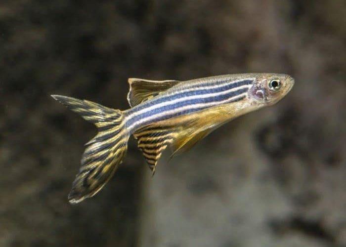 как выглядит рыбка, фото, содержание и уход