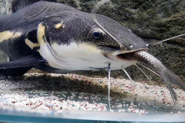 названия и описание, фото самых крыпных рыб