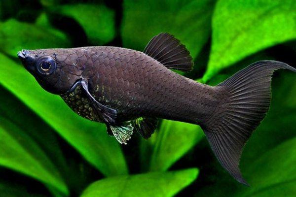 Черные аквариумные рыбки: описание, фото с названиями