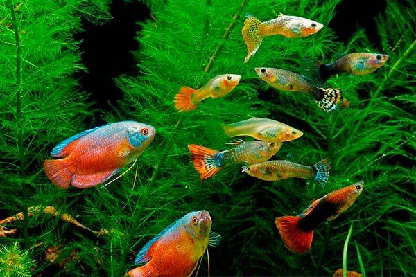 таблицы видов, какие рыбы могут жить вместе в одном аквариуме, фото и названия