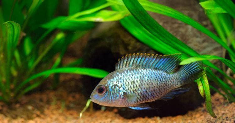содержание и уход, а также описание болезней и правил разведения рыбки