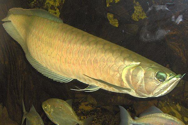 Самые дорогие аквариумные рыбки в мире, фото