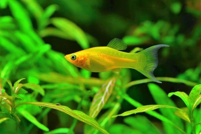 Моллинезия рыбка в аквариуме: виды, содержание, уход, фото