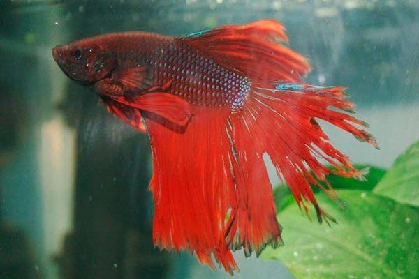 симптомы и лечение в общем аквариуме, фото рваных плавников