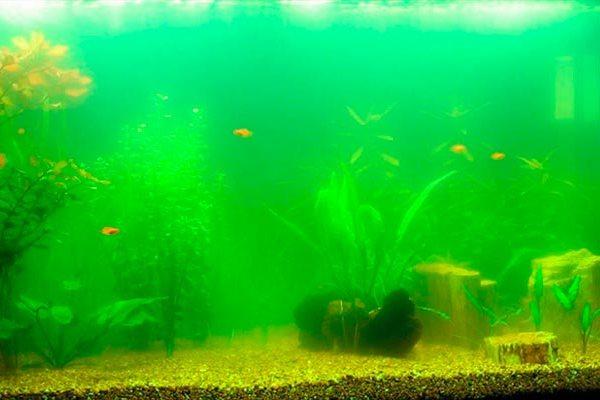 Зеленый налет на стенках аквариума: как почистить и избавиться, почему зеленеют стекла, декорации и камни, фото