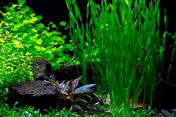 Как правильно посадить живые водоросли в грунт, чтобы не всплывали